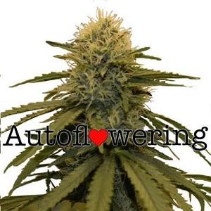 Buy LSD Autoflower Seeds