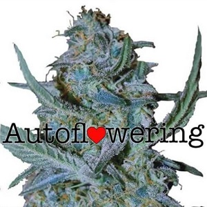 Blue Cheese Autoflower Seeds For Sale