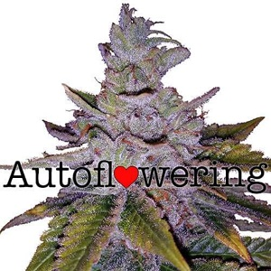 Buy Purple Kush Autoflower Seeds