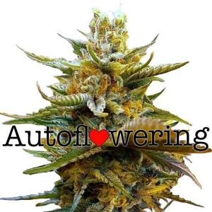 G13 Autoflower Seeds For Sale