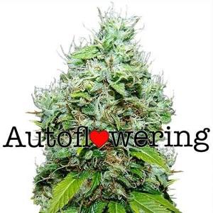 NYC Diesel Autoflower Seeds For Sale