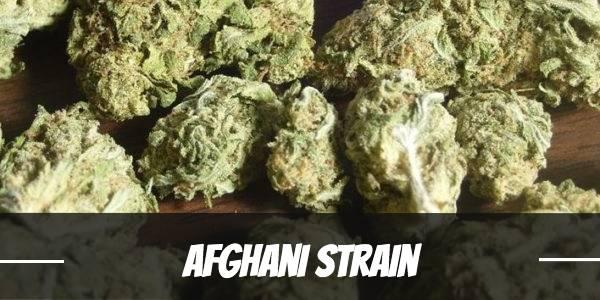 Afghan Cannabis Strain