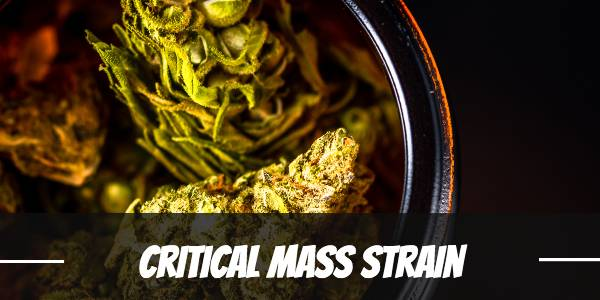 Critical Mass Cannabis Strain