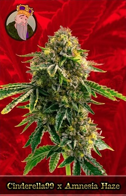 Cinderella 99 X Amnesia Haze Feminized Cannabis Seeds